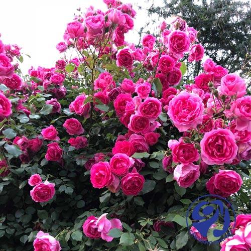 Nước hoa hồng Karose của nước nào?